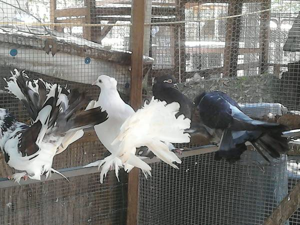 Pigeons For Sale in Lusk Wyoming craigslist ads